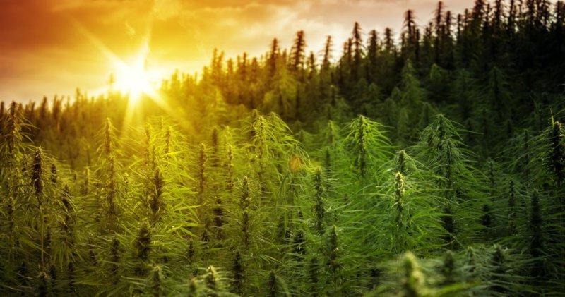 Про коноплю статусы помощь при передозировке марихуаной